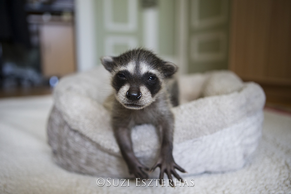 Raccoon <br /> Procyon lotor<br /> Four-week-old orphaned baby in foster home <br /> WildCare, San Rafael, CA
