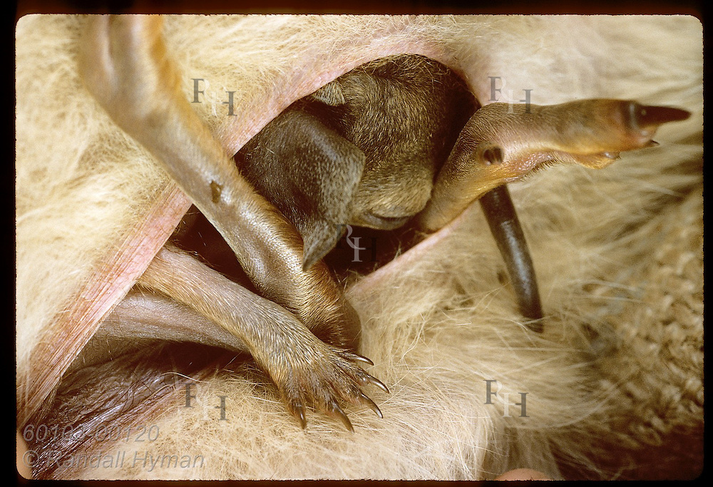 Furry limbs of baby rufous hare-wallaby stick from mother's pouch as the pouch-bound joey suckles. Australia