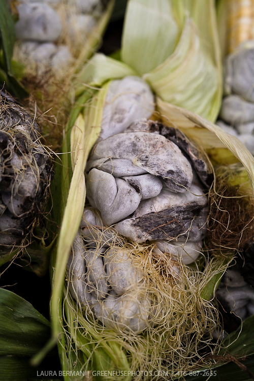 Huitlacoche: a gourmet delicacy that is a fungus (Ustilago maydis), that grows on ears of corn and is also known as corn smut, Mexican corn truffle or cuitlacoche. This huitlacoche was grown by Ontario organic farmer Mark Trealout for Toronto Chef Chris McDonald of Cava.