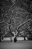 Tree in the snow. Our second snowstorm in two days. Winter has finally arrived. Fuji X-T1 camera and 90mm f/2 lens (ISO 200, 90 mm, f/2, 1/900 sec).