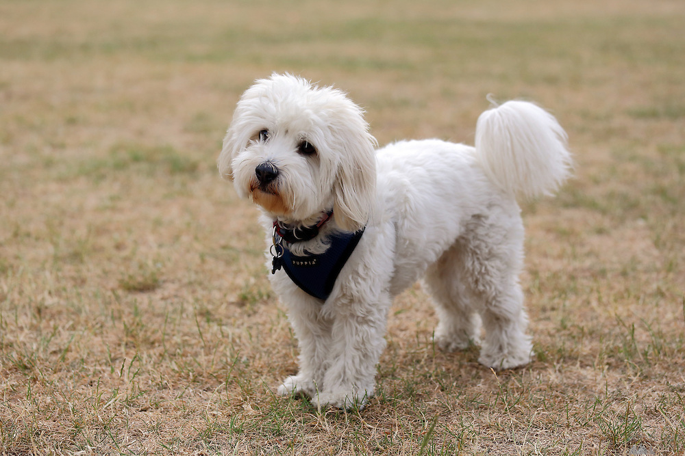 This is Lazlo, a 3-year-old Coton de Tulear dog