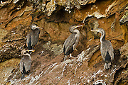 Spotted Shags at Abel Head, Puponga, New Zealand