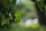 Aspen leaves in summer in Aspen, Colorado.