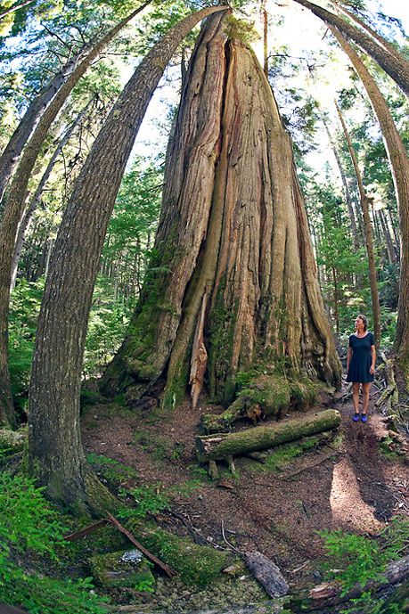 A 1,000 year old tree affectionately called Big Cedar dwarfs a person on Hanson Island, British  Columbia, Canada.