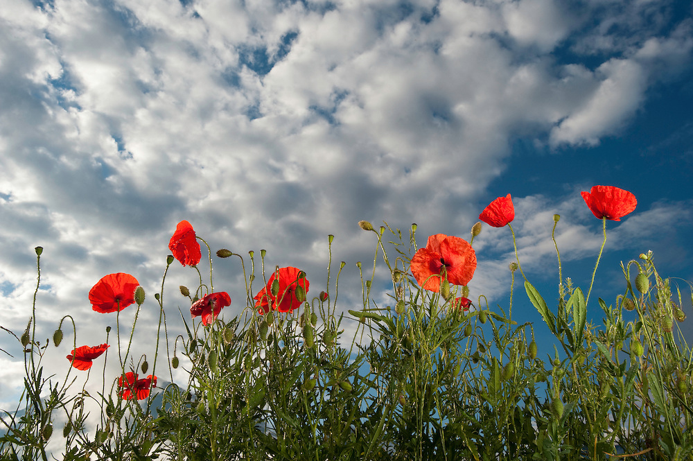 Common poppy, Papaver rhoeas, Queyras, France, Europe