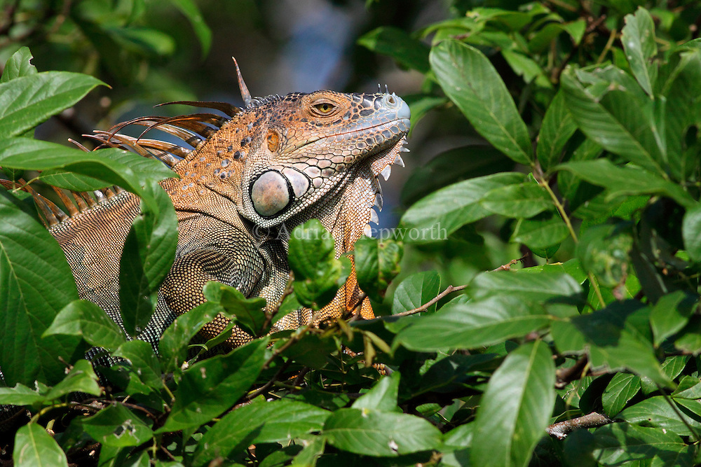 Male Green Iguana (Iguana iguana) in rainforest.  Tortuguero National Park, Costa Rica. <br />
