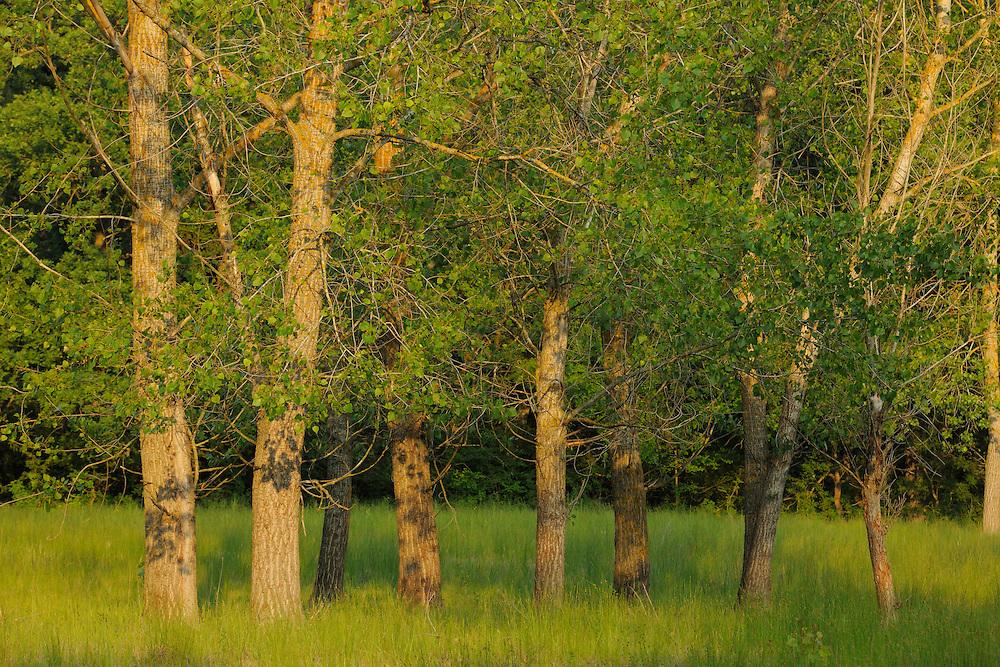 Poplar, Populus alba/nigra, Letea forest, Strictly protected nature reserve, Danube delta rewilding area, Romania