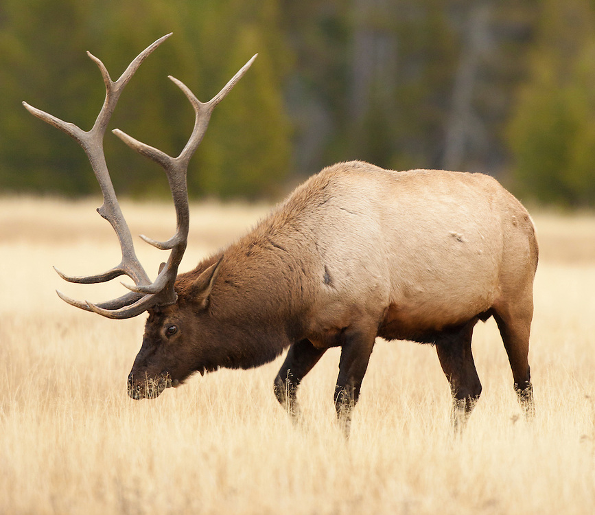 A solitary bull elk eats breakfast in Helena, Montana.