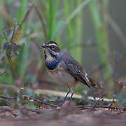 The bluethroat (Luscinia svecica) is a small passerine bird that was formerly classed as a member of the thrush family Turdidae, but is now more generally considered to be an Old World flycatcher, Muscicapidae. It, and similar small European species, are often called chats.