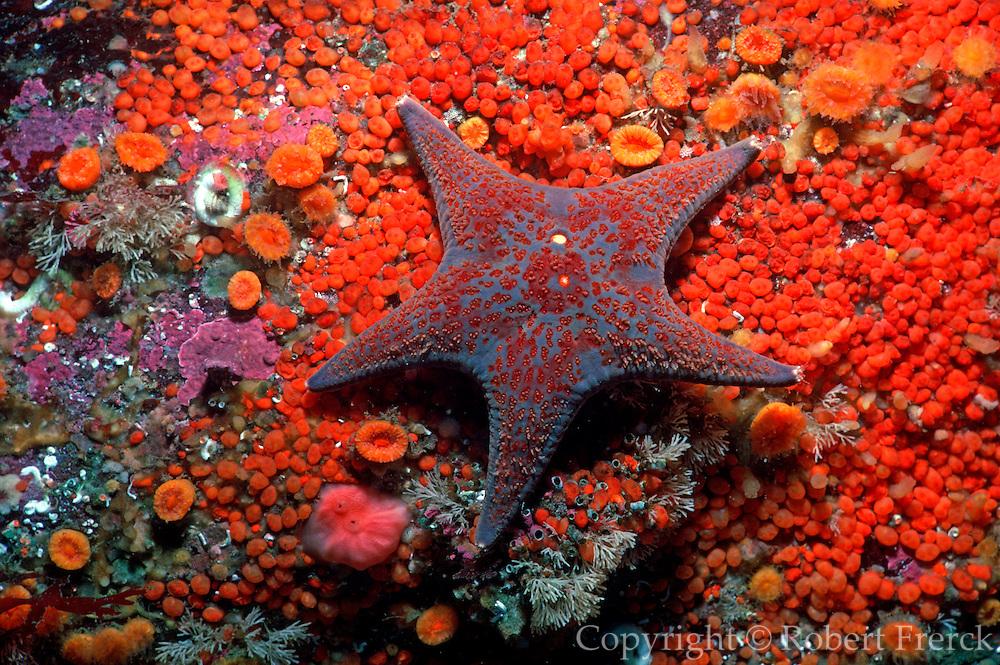 UNDERWATER MARINE LIFE EAST PACIFIC: Northeast SEA STARS: Sea star Dermasterias imbricata