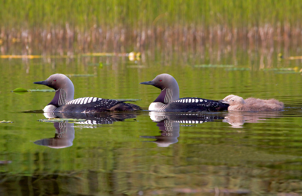 Alaska. Pacific Loons (Gavia pacifica) with downy young on a southcentral Alaska lake.