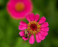 Bumble Bee on a Red Zinnia Flower. Image taken with a Fuji X-H1 camera and 80 mm f/2.8 macro lens