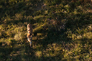 Aerial view of a lioness (Panthera leo) walking.