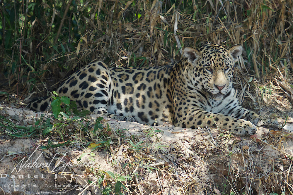 Jaguar, Wild and free roaming animal, Pantanal, Brazil.