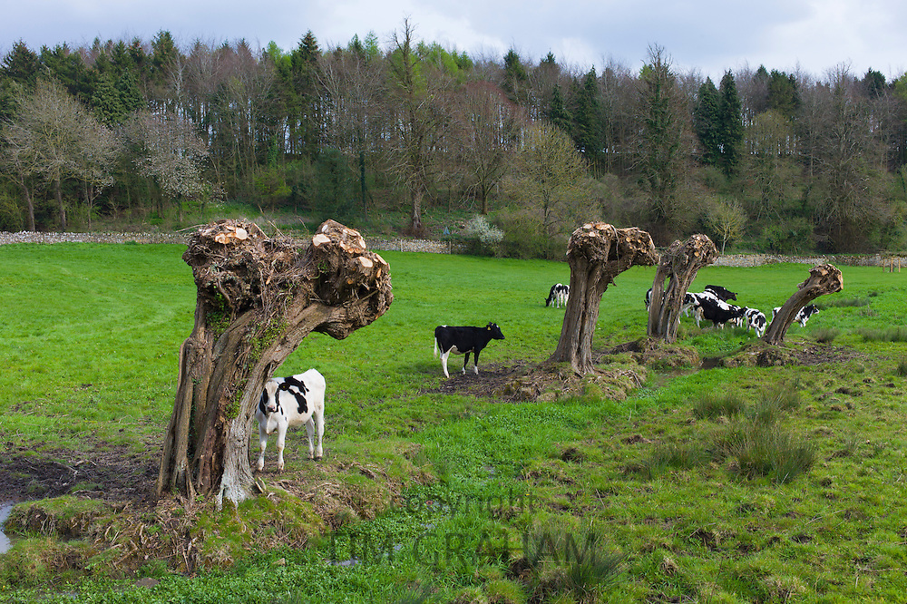 Cattle by Willow trees, Salix alba, recently pollarded, lining a stream in springtime in Swinbrook in the Cotswolds, Oxfordshire, UK