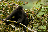 Black Colobus (Colobus satanus satanus) monkey.  Endangered Species (IUCN Red List: EN).