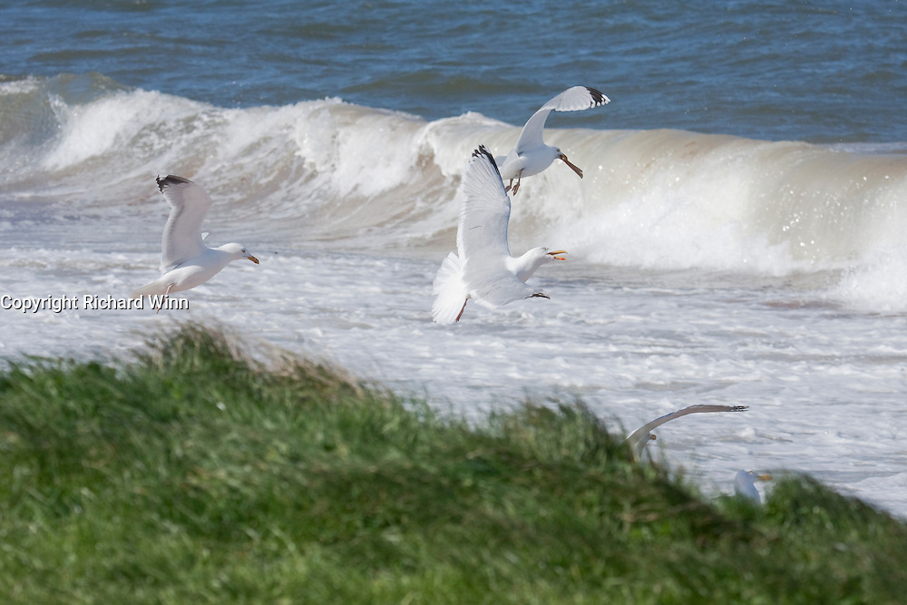 Some herring gulls flying in front of a wave, one with a slice of bread in its beak, another calling.