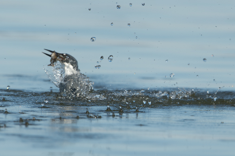 Kingfisher leaving the water with a small fish