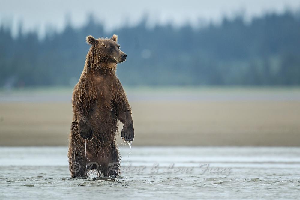 Alaskan coastal brown bear (Ursus arctos middendorfi) fishing for silver salmon in Lake Clark National Park