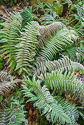 Hoar frost on fern foliage