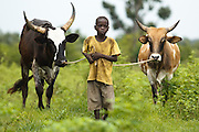 A boy drives cattle in the village of Kabe, Mali on Monday August 30, 2010.