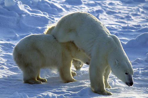 Polar Bear, (Ursus maritimus) Mother hurdles over cub to charge male. Churchill, Manitoba. Canada.