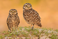 The pint-sized burrowing owl is considered endangered in many areas. Western prairie-dog towns once furnished much ideal habitat, but these are now scarce, and the owls are found in golf courses, vacant lots, industrial parks, and other open areas. This mated pair was photographed atop their burrow in southwest Florida.