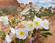 Desert Primrose (or Dune Evening Primrose,<br />