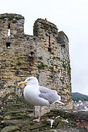 European herring gull  (Larus argentatus)<br /> UNITED KINGDOM: WALES<br /> Conwy Castle in Conwy<br /> 10-Jul-2017<br /> J.C. Abbott &amp; K.K. Abbott