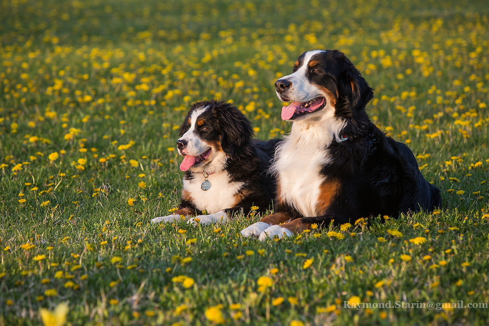 Berner, Bernese, Bernese Mountain Dog, Dog, Mountain, yellow flowers, 2, two, puppy, puppies, canine, swiss
