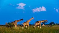 Giraffes on the move, Kwando Concession, Linyanti Marshes, Botswana.