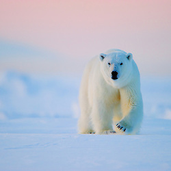 A huge polar bear is patroling the sea ice of the coast of eastern Svalbard.