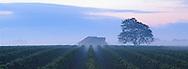 Duck Walk Vineyards, Cutchogue, vines in morning fog, New York