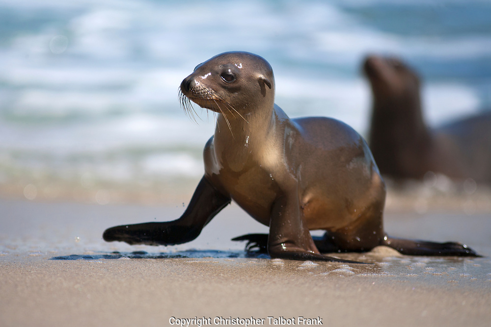 I went to the La Jolla Cove to take a photo of this super cute Baby Sea Lion In La Jolla.  These curious sea mammals are great wildlife subject to take pictures of in San Diego.