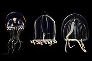 Links:Hydromeduse (Clythia hemisphaericum) Morphe der Hydrozoa Raunefjord bei Bergen, Norwegen | Mitte: Qualle (Aglantha digitale) Raunefjord bei Bergen, Norwegen | Rechts: Hydrozoa (Sarsia tubulosa) Raunefjord bei Bergen, Norwegen