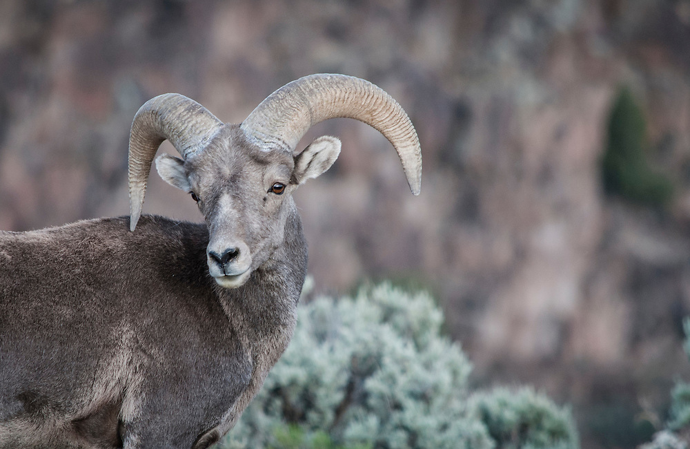 Rocky Mountain Bighorn Sheep. El Rio Grande del Norte National Monument, New Mexico. USA<br />