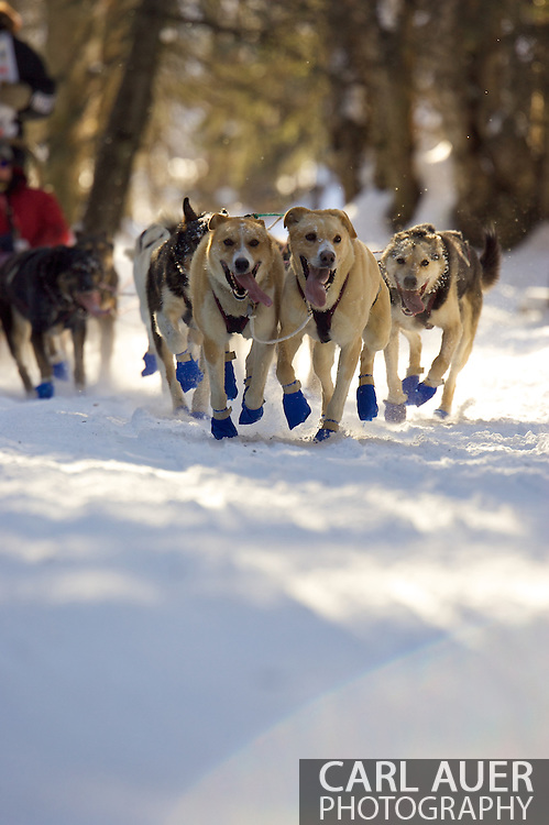 March 7th, 2009:  Anchorage, Alaska: Aaron Burmeister's team moves quickly through the woods near Behm Lake during the 2009 Ceremonial Start of the Iditarod.