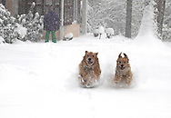 Two golden retrievers having un in the snow. This photograph has a model release.  Photograph by Dennis Brack