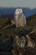 Snowy Owl, Boundary Bay Regional Park, Delta, British Columbia