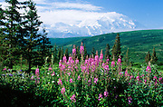 Alaska. Mt McKinely (20,320 ft.) with fireweed blooming.