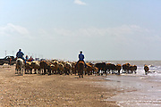 Cattle Drive, High Island, Texas, USA.