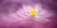 Ethereal rendition of a pink lotus flower fading into a soft pink background