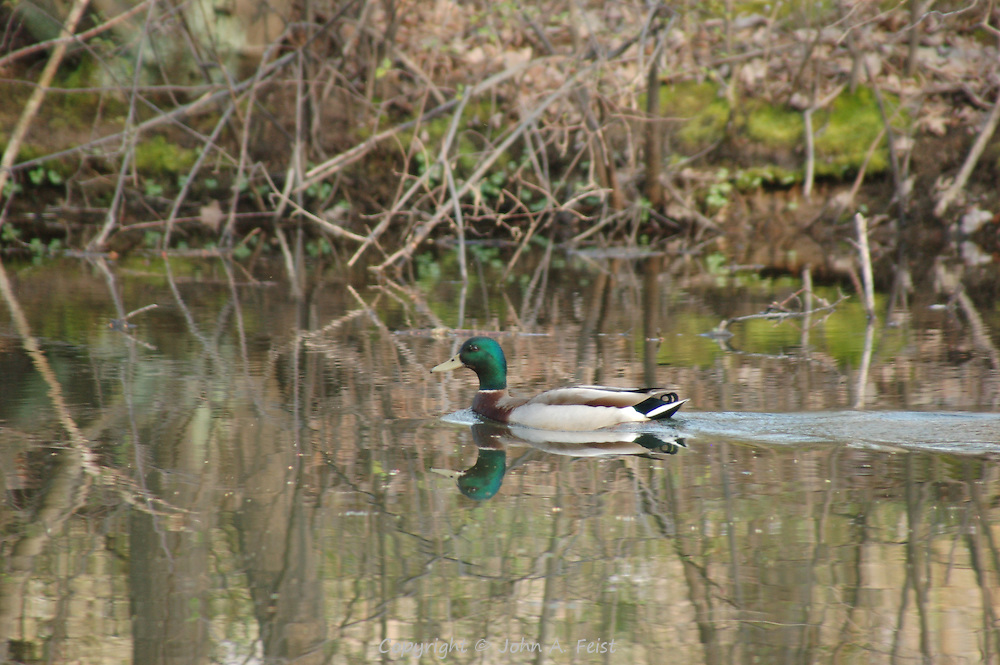 A duck/drake taking a leisurely swim on the D and R Canal in Hillsborough, NJ