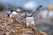 Pair of Atlantic Puffin -  Fratercula arctica having a friendly argument