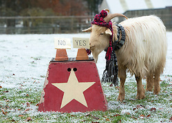 """Boots the fortune telling goat gives their predictions for 2017, at Lanton Hill Farm, Jedburgh. Think this was """"Will Theresa May be replaced as PM""""."""