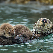 Sea otter adult swimming with baby otter;  Alaska in wild.