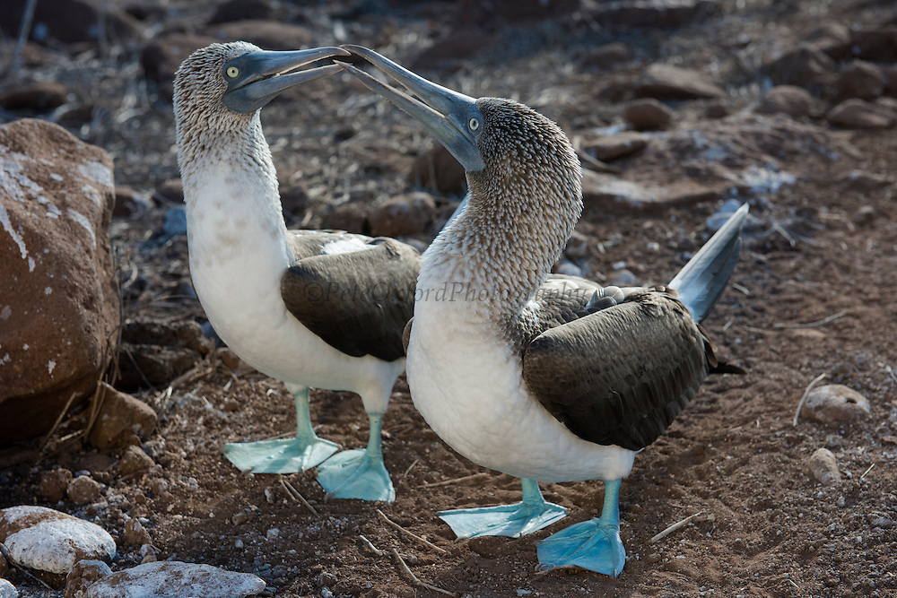Blue-footed Booby Pair (Sula nebouxii excisa)<br /> North Seymour<br /> Galapagos Islands<br /> Ecuador<br /> South America