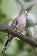 Inca Dove - Columbina Inca