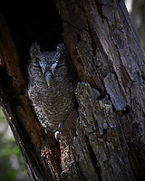 Screech Owl Dozing. Dos Vandas Ranch in Southern Texas. Image taken with a Nikon D4 camera and 500 mm f/4 VR lens.