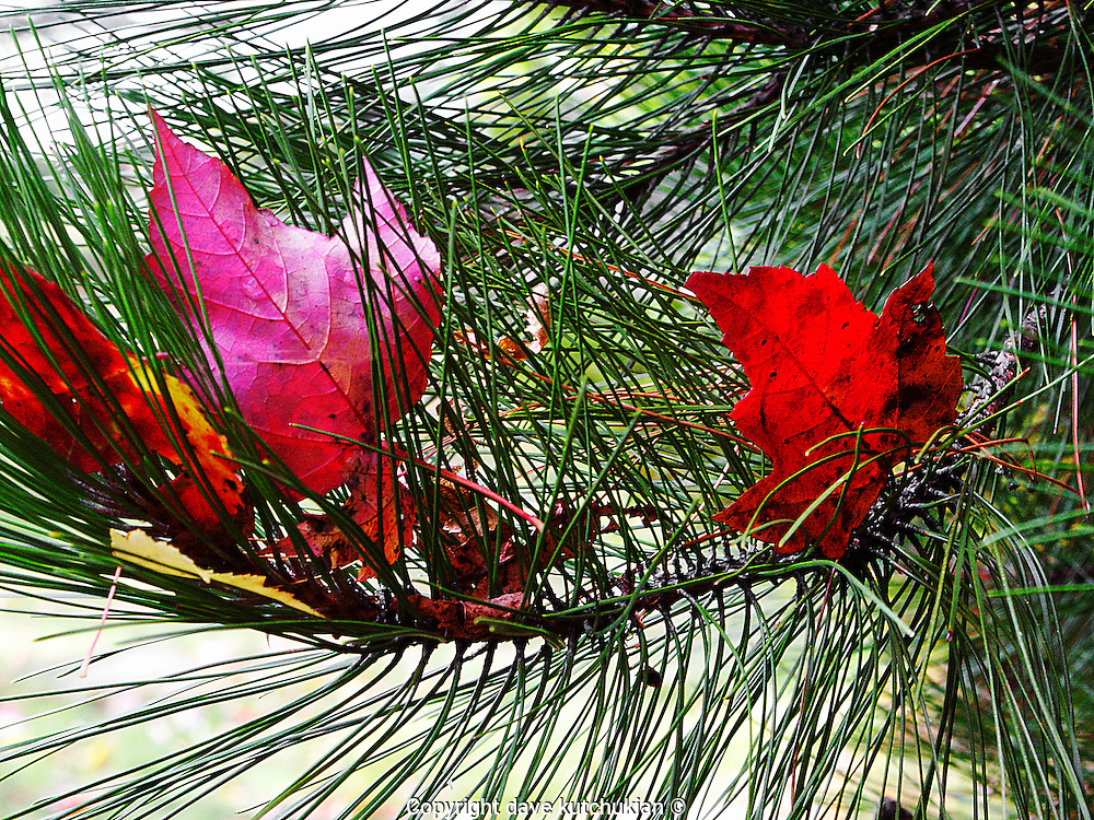 fall colored leaves captured on a scotch pine tree branch no property release
